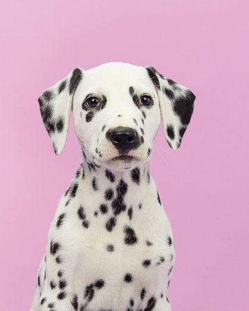 Dalmatier portret tegen een roze achtergrond