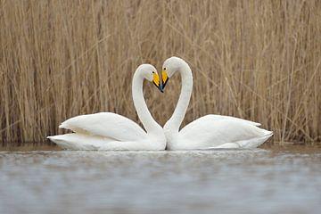 Whooper Swans * Cygnus cygnus *, forming a love heart van wunderbare Erde