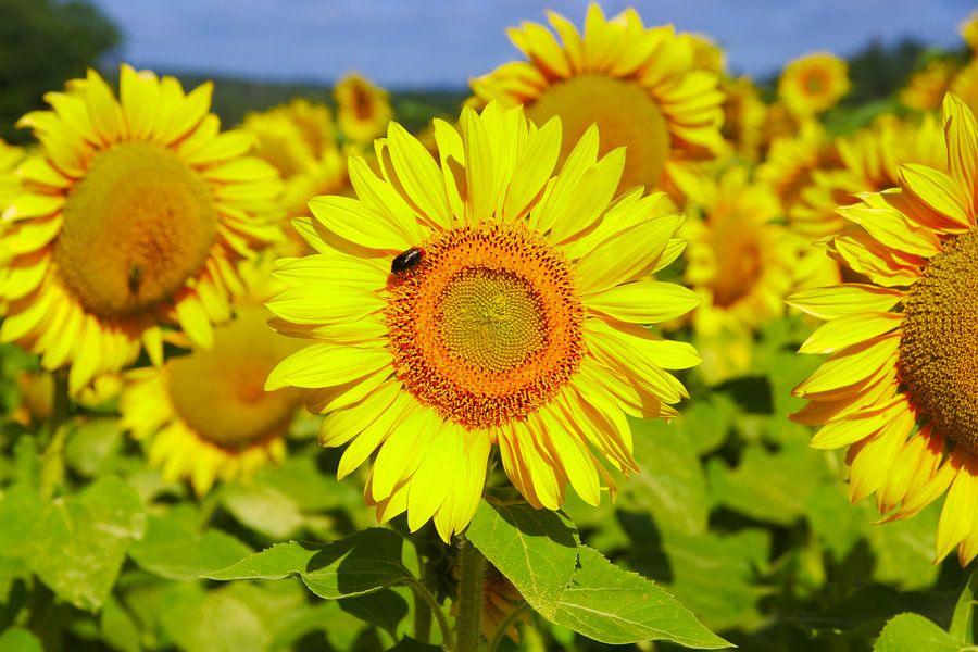 Sunflowers van 7Horses Photography