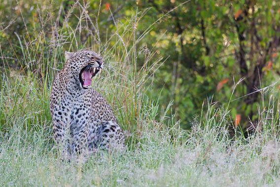 Luipaard zit in hoog gras en gaapt van Caroline Piek