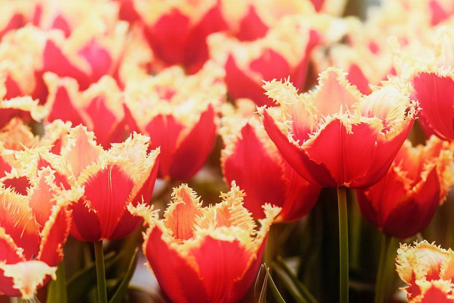 Tulpen in de Keukenhof