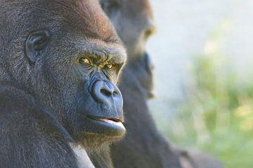 Gorilles von Renald Bourque