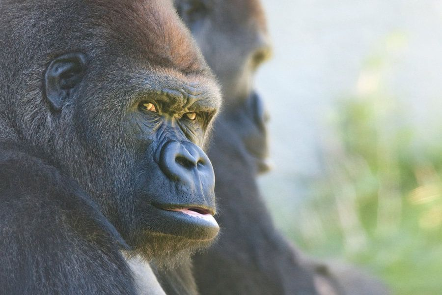 Gorilles van Renald Bourque