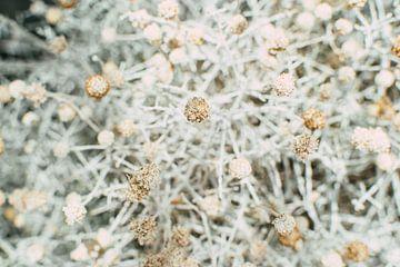 Blumen | Trockenblumen, Natur in Utrecht von Lisanne Koopmans