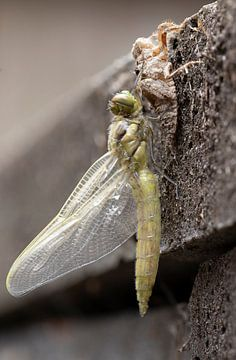 Libelle aus dem Kokon von Fotografie John van der Veen
