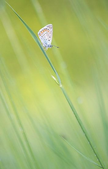 Vlinder op grashalm.