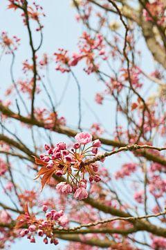 Voorjaars kersen bloesem 6904006297 fotograaf Fred Roest van Fred Roest