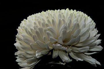 Weiße, helle, satinierte Chrysantheme auf schwarzem Hintergrund von JM de Jong-Jansen