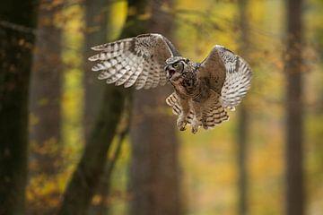 Great Horned Owl / Tiger Owl ( Bubo virginianus ) in aggressive flight van