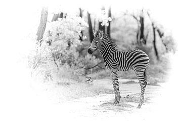 Junges Zebra. von Gunter Nuyts