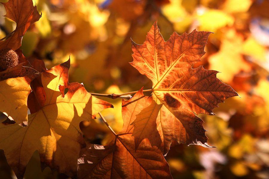 The American leaf van Cornelis (Cees) Cornelissen