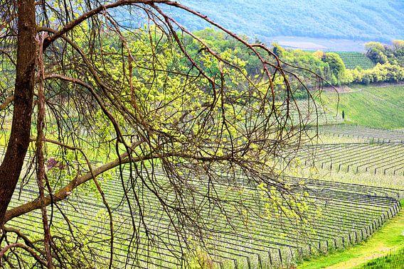 Apple Blooming Season in South Tyrol