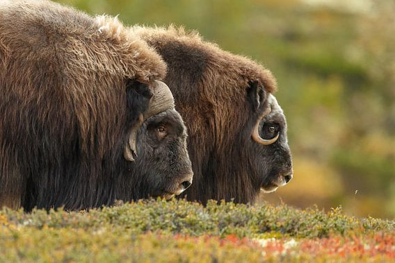 Musk ox at Norway in autumn colours