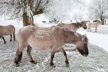 Eine Herde Konik-Pferde im Schnee von Bas Meelker