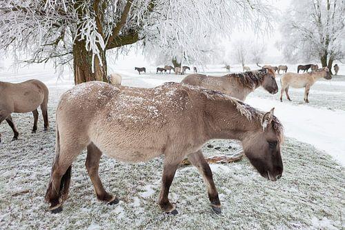 Een kudde Konikpaarden in de sneeuw