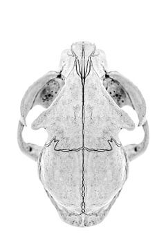 Cat Skull II van Cor Ritmeester