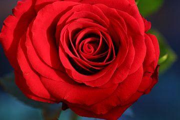Rode Roos van Tineke Roosen