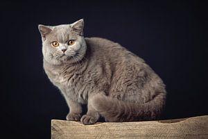 Un très beau chat British Shorthair posant sur un tabouret en bois