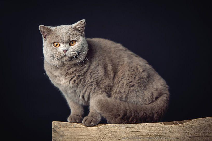 Un très beau chat British Shorthair posant sur un tabouret en bois sur Jan de Wild