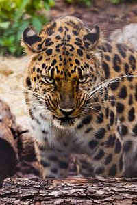 Schnauze eines schönen fernöstlichen Leoparden in Nahaufnahme vor dem Hintergrund von Waldabfall und
