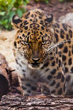 Snuit van een prachtige luipaard uit het Verre Oosten van dichtbij tegen de achtergrond van bosafval van Michael Semenov