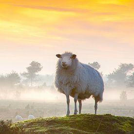 Schaapje op de uitkijk van Arie Flokstra Natuurfotografie