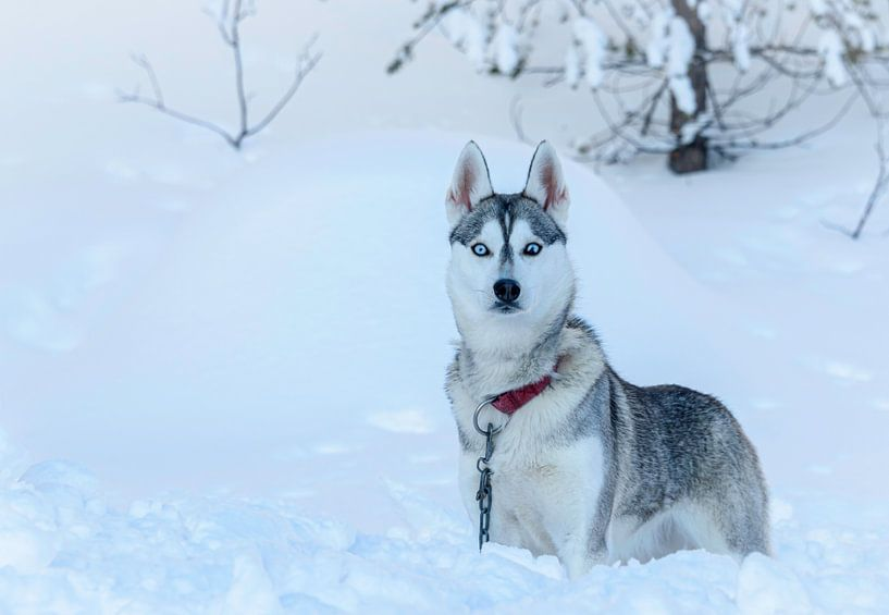 Oplettende Husky in de sneeuw van Rietje Bulthuis
