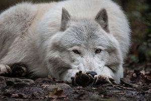 Liegender arktischer Alpha-Wolf von UnkczY