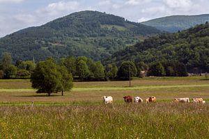 Berg met koeien