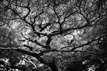 Japanse kronkelboom van Manja Herrebrugh - Outdoor by Manja