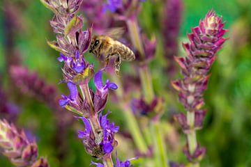 Honigbiene an der Lavendelblüte von Hans-Jürgen Janda