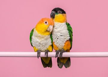 Kaique-Papageien von Elles Rijsdijk