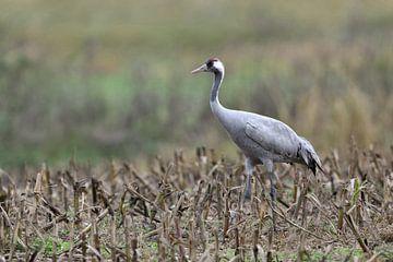 Kranich ( Grus grus ) bei der Nahrungssuche auf einem abgeernteten Feld, wildlife, Europa. von wunderbare Erde