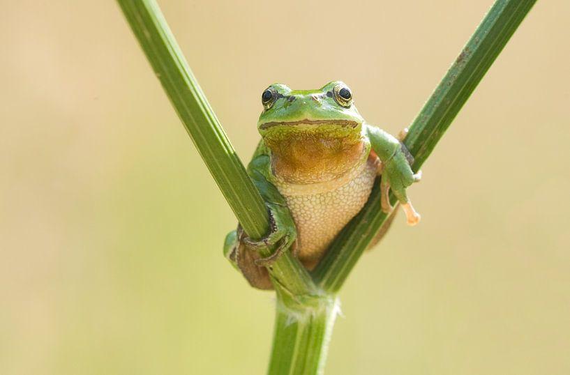 Baumfrosch auf Pfeifenwurz in grün von Jeroen Stel