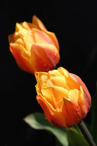 Tulpen met zwarte achtergrond en druppels van Erik Wouters