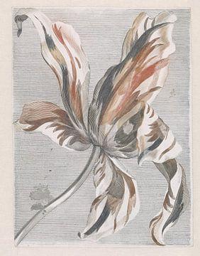 Tulipe romantique sur