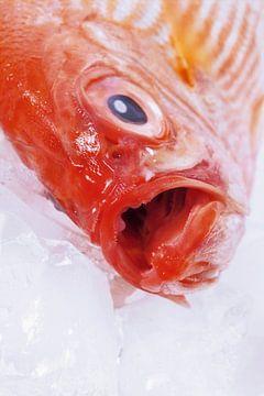 SF00940518 Alfonsino vis op met open bek op ijsblokjes van BeeldigBeeld Food & Lifestyle
