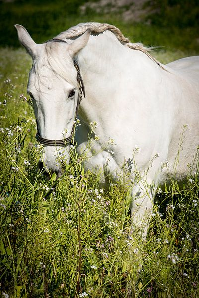 Andalusisch paard (PRE) van Cristel Brouwer