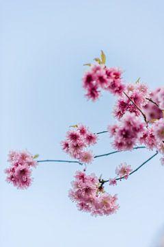 Rosa japanische Kirschblüte || Naturfotografie Poster von Blumen von Manon Galama