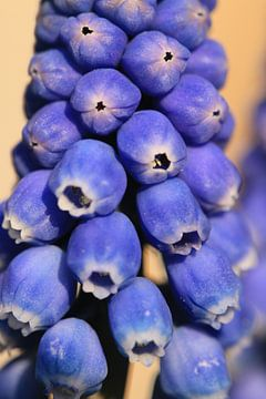 Blaue Traube von Bärbel Severens