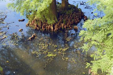 Les racines des arbres dans l'eau I Jardin I Nature I Impression couleur