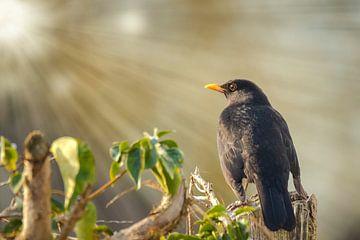 Blackbird sur Sander Meertins