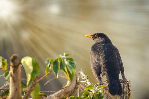 Blackbird van Sander Meertins