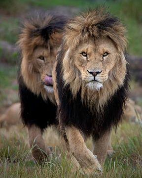 Diese beiden Löwenbrüder haben eindeutig etwas in Aussicht von Patrick van Bakkum