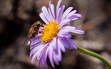 zweefvlieg op paarse aster van mick agterberg