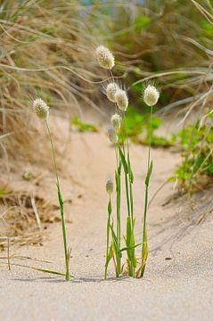 Gras in de duinen van Denis Feiner