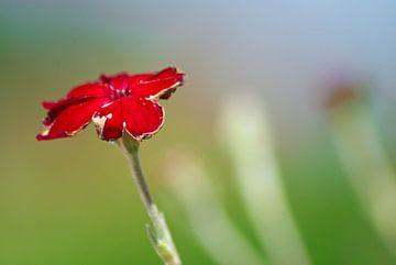 Rode bloem von Marit Hilarius