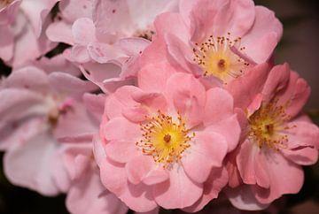 roses roses sur Tania Perneel