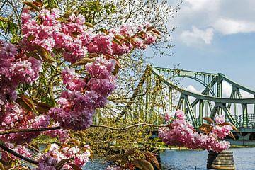 Glienicker Brücke mit Cherry Blossom von Frank Herrmann
