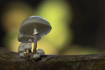 Herbst im Wald, Porzellanpilze auf einem Buchenstamm von Eric Wander